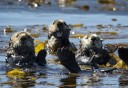 Photo of Sitka Sea Otters